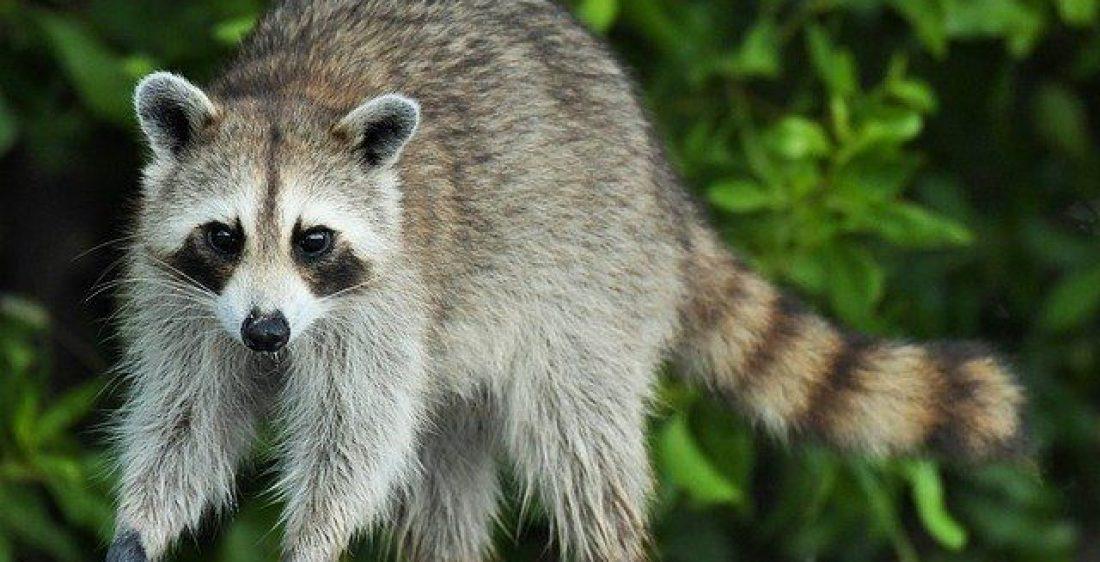 """Neue Krypto-Klau-Software im Umlauf – alle Browser betroffen! Vorsicht vor """"Raccoon""""-Malware - coin-update"""
